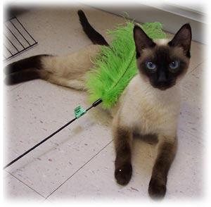 Siamese Cat Rescue Center Main Website