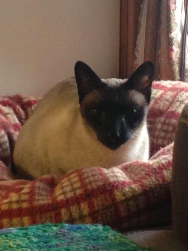 Siamese Cat Rescue Center -
