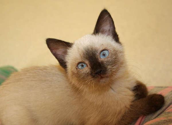 202555aaf40 Siamese Cat Rescue Center -
