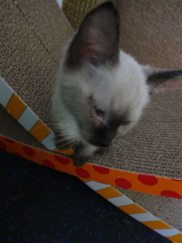 Siamese Cat Rescue Center -