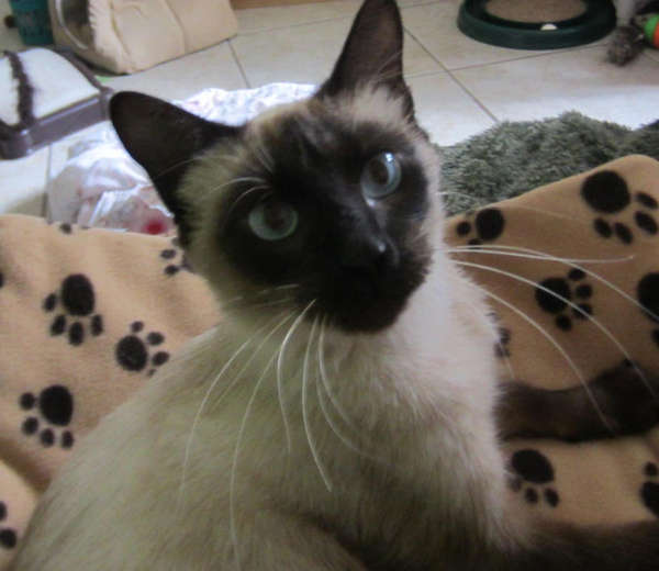 Siamese Cat Rescue Center - 604a65e1a